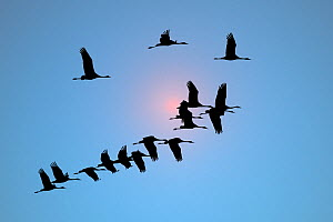 Flock of Common Crane (Grus grus) in flight silhouetted against the sun. France, November.  -  Loic Poidevin