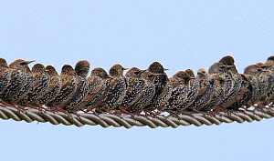 Row of Starlings (Sturnus vulgaris) perched on wire. Marais Breton, Vendee, French Atlantic Coast, November.  -  Loic  Poidevin