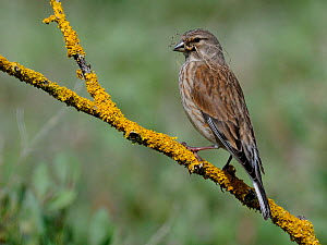 Linnet (Acanthis / Carduelis Cannabina) female perched on lichen covered twig. Marais Breton, Vendee, French Atlantic Coast, April. - Loic  Poidevin