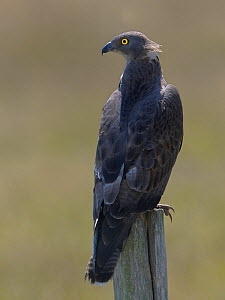 Honey Buzzard (Pernis apivorus) perched on post. Marais Breton, Vendee, French Atlantic Coast, July. - Loic  Poidevin