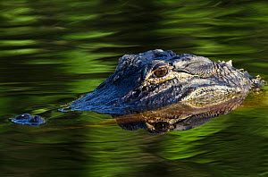 American alligator (Alligator mississippiensis) half submerged, Okefenokee National Wildlife Refuge, Florida, USA - Pete Oxford