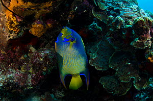 Queen Angelfish (Holacanthus ciliaris) feeding on coral reef, Bonaire, Netherlands Antilles, Caribbean  -  Pete Oxford