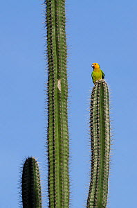 Yellow shouldered parrot (Amazona barbadensis) on cactus, Bonaire, Netherlands Antilles, Caribbean - Pete Oxford