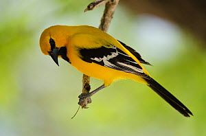 Yellow oriole (Icterus nigrogularis) Bonaire, Netherlands Antilles, Caribbean - Pete Oxford