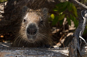 Cuban or Desmarest's Hutia (Capromys pilorides)~Jardines de la Reina National Park, endemic to Cuba, Caribbean  -  Pete Oxford