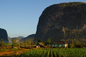 Viales Valley with Tobacco crop, Sierra Rosario Mountain Range with Mojotes (limestone tree-covered knolls) UNESCO World Heritage site, Cuba, Caribbean, 2011  -  Pete Oxford