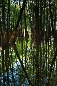 Bald cypress trees (Taxodium distichum) The Orianne Indigo Snake Preserve, Telfair County, Georgia, USA - Pete Oxford