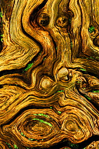 Detail of dead wood from English / Pendunculate oak tree (Quercus robur) New Forest, Hampshire, UK  -  Colin Varndell