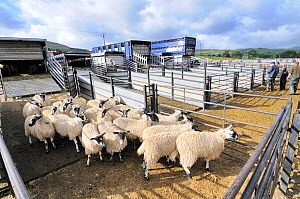 Domestic Sheep (Ovis aries) being unloaded from truck into pen at livestock market awaiting auction, Hawes Mart, Yorkshire Dales, UK, September 2011  -  Gary K. Smith