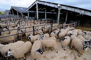 Domestic sheep (Ovis aries) in pens at livestock market awaiting auction, Hawes Mart, Yorkshire, UK, September 2011 - Gary K. Smith