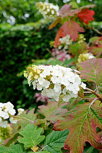 Hydrangea  quercifolia flower spikes and leaves, Norfolk, UK, July  -  Gary K. Smith