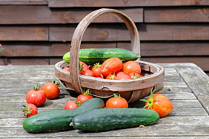 Small collection of freshly picked home grown vegetables, Tomatoes (Solanum lycopersicum) and Cucumber (Cucurbita sativus) Norfolk, UK, August  -  Gary K. Smith
