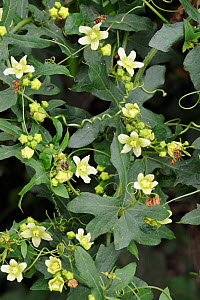White Bryony (Bryonia dioica) flowers and tendrils, Norfolk, UK, July  -  Gary K. Smith