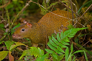 Central American Agouti (Dasyprocta punctata) in vegetation. Costa Rican tropical rainforest. - John Cancalosi