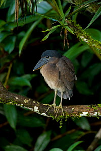 Boat-billed Heron (Cochlearius cochlearius) perched. Costa Rican tropical rainforest.  -  John Cancalosi