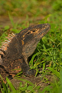 Spiny-tailed Iguana (Ctenosaura similis) head. Santa Rosa National Park, tropical dry forest, Costa Rica.  -  John Cancalosi