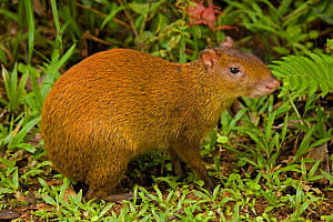 Central American Agouti (Dasyprocta punctata) in profile. Costa Rican tropical rainforest. - John Cancalosi