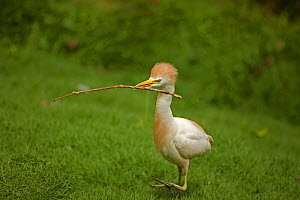 Cattle Egret (Bubulcus ibis) standing with nesting material. Costa Rican tropical rainforest.  -  John Cancalosi