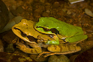 Masked Treefrogs (Smilisca phaeota) mating, in amplexus. Costa Rican tropical rainforest.  -  John Cancalosi