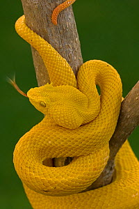 Eyelash Palm-pitviper (Bothriechis / Bothrops schlegeli) coiled in strike pose with tongue extended. Costa Rica. Captive.  -  John Cancalosi