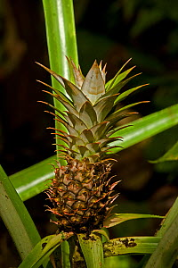 Pineapple (Ananas comosus) with fruit. Costa Rican tropical rainforest.  -  John Cancalosi