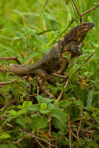 Spiny-tailed Iguana (Ctenosaura similis). Santa Rosa National Park tropical dry forest, Costa Rica.  -  John Cancalosi