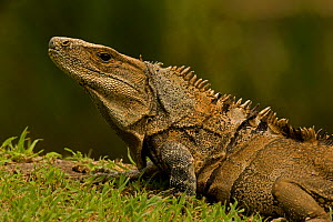 Spiny-tailed Iguana (Ctenosaura similis) head in profile. Santa Rosa National Park tropical dry forest, Costa Rica.  -  John Cancalosi