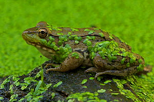Green Frog (Rana clamitans) covered with duckweed. New York state, USA.  -  John Cancalosi