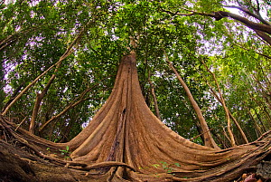 Looking up root system and tree trunk in Amazon forest, Rio Negro, Brazil, December 2009. - Luis Quinta