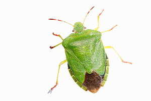 Green shieldbug (Palomena prasina) on white background, captive - Simon Colmer