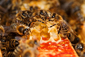 Honey bee (Apis mellifera) workers exchanging food - known as trophallaxis, Sussex, UK - Simon Colmer