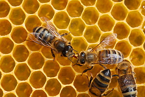 Honeybee workers exchanging food - known as trophallaxis (Apis mellifera) Sussex, UK - Simon Colmer