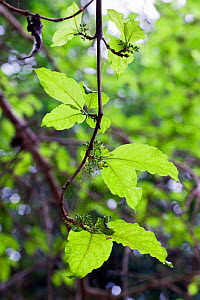 Vangueria leaves (Vangueria apiculata) a medicinal plant used to cure intestinal worms and stomach ache - Simon Colmer