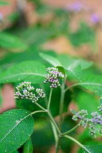 Flower and leaves of (Bothriocline tomentosa) medicinal plant used to cure diarrhoea and stop vomiting  -  Simon Colmer