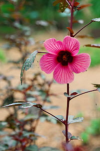 African Rosemallow also known as Maple Sugar, Red Hibiscus, Cranberry Shield (Hibiscus acetosella) Medicinal plant: used in Uganda as a blood tonic, leaves are edible and good source of vitamin C.  -  Simon Colmer