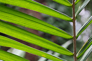 African Oil palm leaves (Elaeis guineensis)  -  Simon Colmer