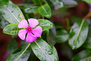 Madagascar periwinkle (Catharanthus or Vinca roseus) Medicinal plant: used to cure hypertension, kidney failure, malaria and diabetes. Used in the treatment of leukemia.  -  Simon Colmer