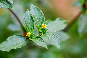 Common St. Pauls wort (Sigesbeckia orientalis) Medicinal plant: used in Uganda to cure skin and fungal infections and syphilis - Simon Colmer