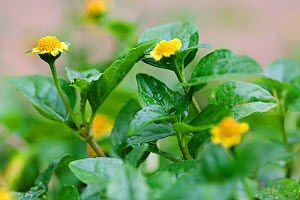 Flowers and leaves of (Spilanthes mauritiana) a medicinal plant with a high anti-fungal potency  -  Simon Colmer