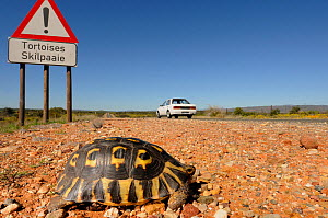 Angulate tortoise (Chersina angulata) adult male crossing road with tortoise traffic warning sign and car passing on Route 62 near Oudtshoorn, Little Karoo, Western Cape, South Africa  -  Tony Phelps