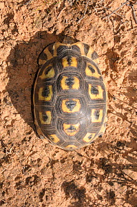 Angulate tortoise (Chersina angulata) adult male, dorsal view of carapace. Oudtshoorn, Little Karoo, Western Cape, South Africa.  -  Tony Phelps