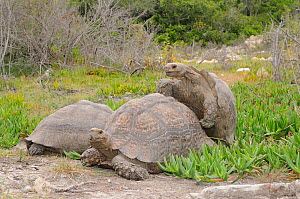 Leopard tortoise (Stigmochelys pardalis) pair mating, with another male next to them, deHoop Nature Reserve, Western Cape, South Africa - Tony Phelps