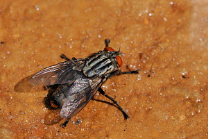 African flesh fly (Sarcophaga africa) drinking water near beach shower, Samos, Greece. - Nick Upton