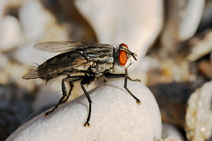 African flesh fly (Sarcophaga africa) sunning on beach pebble in sunset light, Samos, Greece, August. - Nick Upton