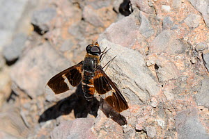 Large Bee fly (Exoprosopa pectoralis) resting on rocks near the coast, Samos, Greece, August.  -  Nick Upton