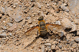 Bee fly (Villa sp) female, collecting sandy soil to coat her eggs with, Samos, Greece, August.  -  Nick Upton