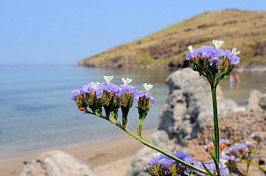 Winged / Wavyleaved sea lavender (Limonium sinuatum) flowering on rocky slope above a beach, with the Aegean Sea in the background, Kalo Limani, Lesbos / Lesvos, Greece, June. - Nick Upton