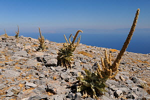 Mullein (Verbascum sp) plants with old flower spikes on bare, rocky summit of Mount Ambelos with the Aegean Sea in the background, Samos, Greece, August 2011.  -  Nick Upton