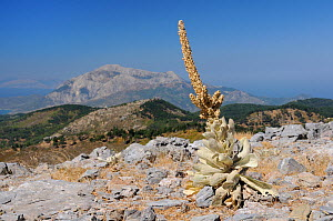 Mullein (Verbascum sp) plants with old flower spikes on bare, rocky summit of Mount Ambelos with Mount Kerki in the background, Samos, Greece, August 2011.  -  Nick Upton