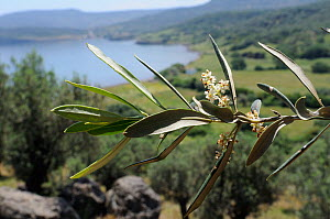 Olive tree (Olea europaea) flowers with Olive grove and the Aegean Sea in the background, Lesbos / Lesvos, Greece, May 2011.  -  Nick Upton